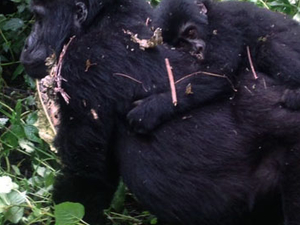 Epic Gorilla and Wildlife Safari Fotos