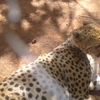 Cheetah At Nairobianimal Orphanage