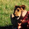 Maasai Mara Lion Feeding On Its Prey In Early Morning