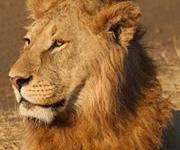 Safari Eyes