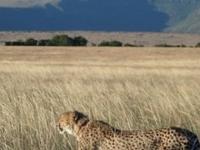 Cheetah In The Savannah Grasslands