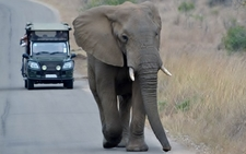 Elephant On Game Drive