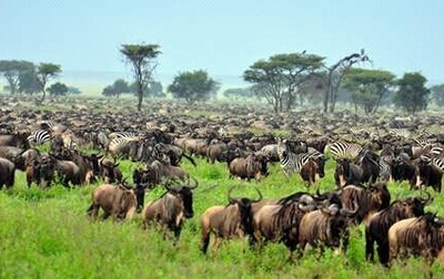 Wildebeests