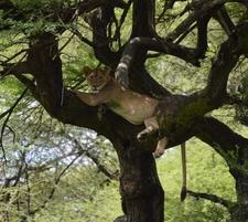 Lion In Mantara N Park