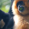 A Pair Of Yellow-Cheeked Gibbons