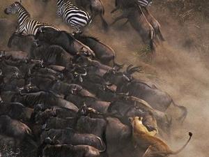 The Great Wilderbeast Migratiion - Masai Mara Photos