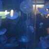 A Group Of Moon Jellyfish