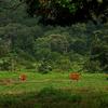 Banteng (Bos Javanicus) In The National Park