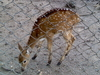 A Little Spotted Deer At Maharajbagh
