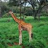 Another Giraffe Center Inmate