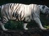 A White Tiger At Arignar Anna Zoologial Park