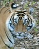 Bacha - 3 Year Old Male Tiger