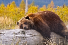 Bear Nap In Alaska