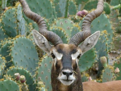 Blackbuck Antelope At Vallanadu Wildlife Sanctuary