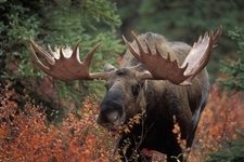 Bull Moose At Denali