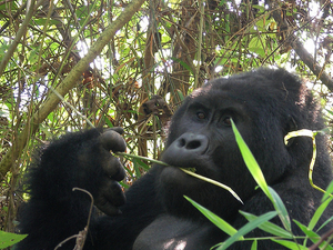 Gorilla Trekking Safari Photos