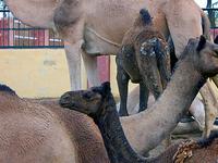 Camel Research Farm