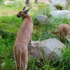 Caracall @ Wellington Zoo NZ