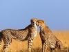 Cheetahs At Mara