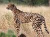 Cheetah - Zimbabwe