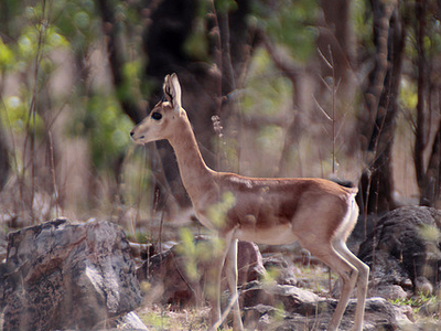 Chinkara At Mayureshwar Wildlife Sanctuary