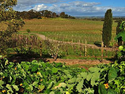 Vineyard At Coriole Wines