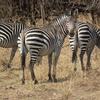 Crawshay's Zebra In South Luangwa National Park