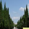 Cypress Alley In Simeiz