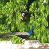 Dayalbagh Peacock