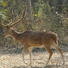 Deer At Nawabganj Bird Sanctuary