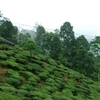 Makaibari Tea Estate