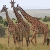 Pack Full - Giraffes