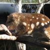 Tiger Quoll At Billabong Koala And Wildlife Park