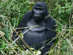 Special Offers for Gorilla Tracking in Uganda Fotos