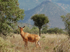 Hartebeest In Tsavo West