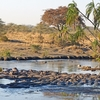 Hippopotamus At Serengeti NP Tanzania