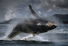 Humpback Whale At Frederick Sound