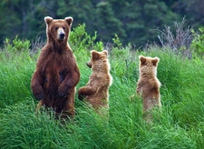 Katmai Bear Family
