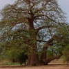 Baobab Tree In Kayes