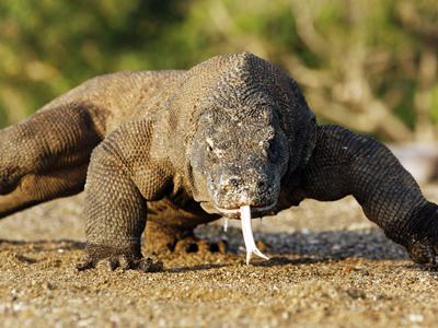 Komodo - Dragon - Indonesia