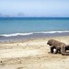 Komodo Dragon On Beach