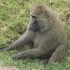 Lake Nakuru National Park Baboon