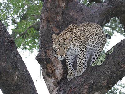 Leopard - Kruger National Park