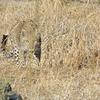 A Leopard Stalking Through The Grass