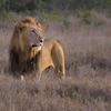 Lion At Ol Pejeta Conservancy - Kenya