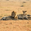 Lion & Lioness - South Africa