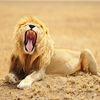 Lion @ Serengeti - Tanzania