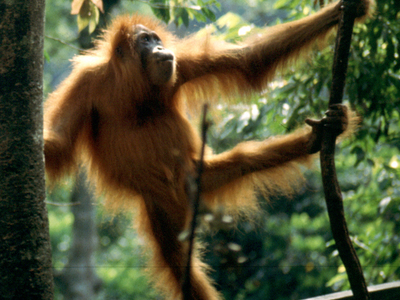 Young Orangutan In The National Park