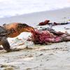 Monitor Lizard Feeding On Dead Cat