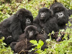 Game Drives, Gorilla Trekking and Lake Kivu Fotos
